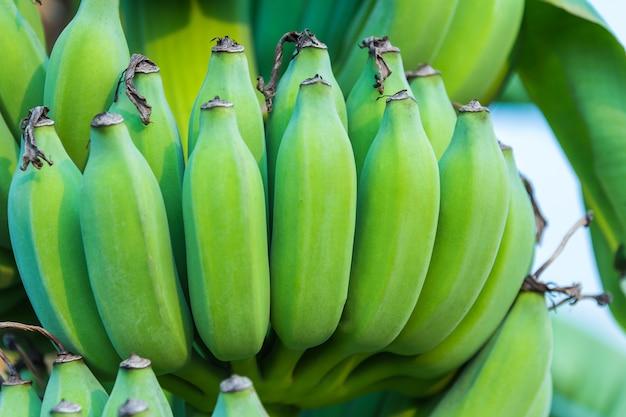 Grappoli di banane verdi che crescono in una foresta pluviale tropicale