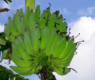 Grappolo banana matura
