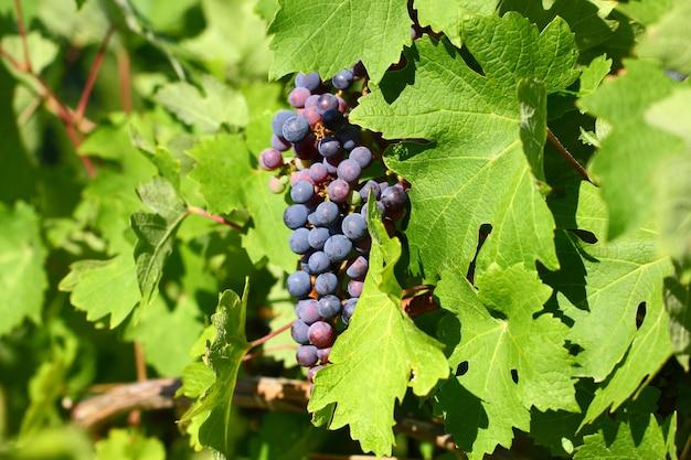 Grappolo d'uva con bacche scure blu che pendono e maturano su un cespuglio con foglie.