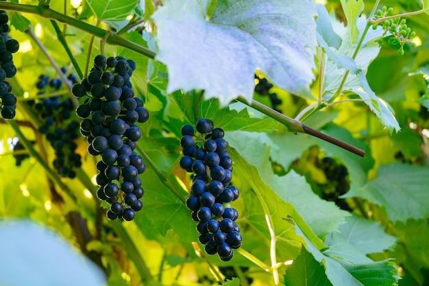 Grappolo d'uva in un giardino sfocato