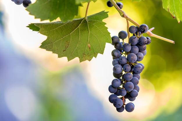 Grappolo d'uva su sfondo sfocato.