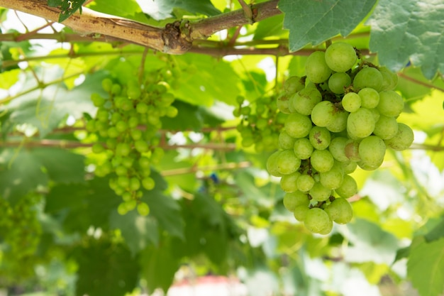 Grappolo d'uva verde sulla vite in vigna.