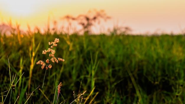 Grassflower con tramonto