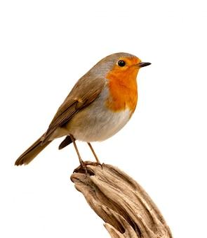 Grazioso uccello con un bel piumaggio rosso