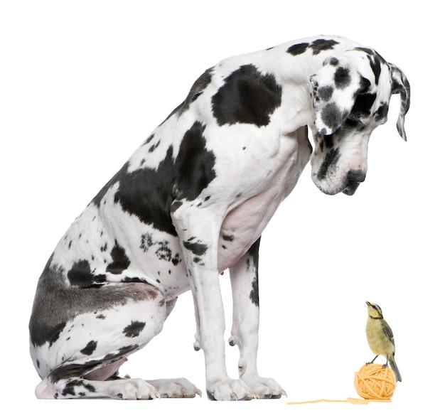 Great dane harlequin che si siede davanti al fondo bianco che esamina un uccello della cinciarella