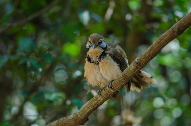 Greater necklaced laughingthrush sul ramo in natura