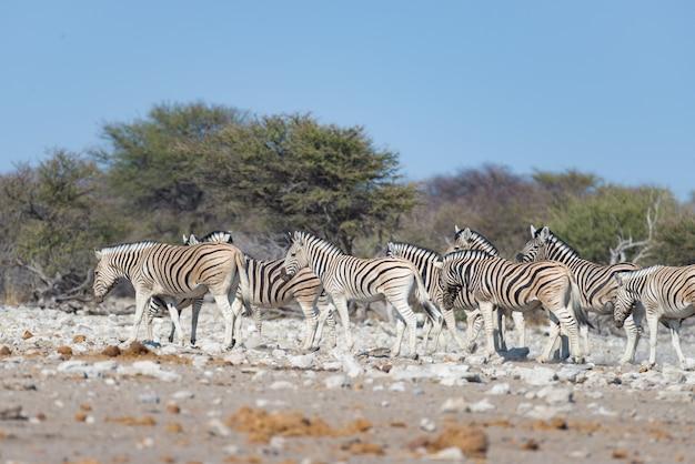 Gregge delle zebre al parco nazionale di etosha, destinazione di viaggio in namibia. polvere, luce soffusa.