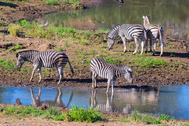 Gregge delle zebre che bevono dal fiume shingwedzi nel parco nazionale di kruger, sudafrica.