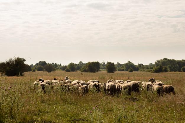 Gregge di pecore al pascolo in campagna
