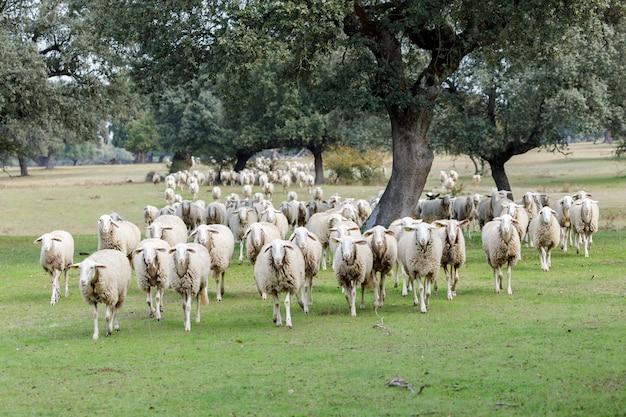 Gregge di pecore al pascolo