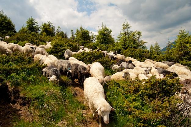 Gregge di pecore bianche