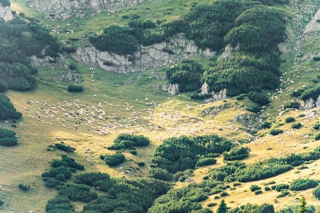 Gregge di pecore in montagna. splendida vista sul paesaggio montano.