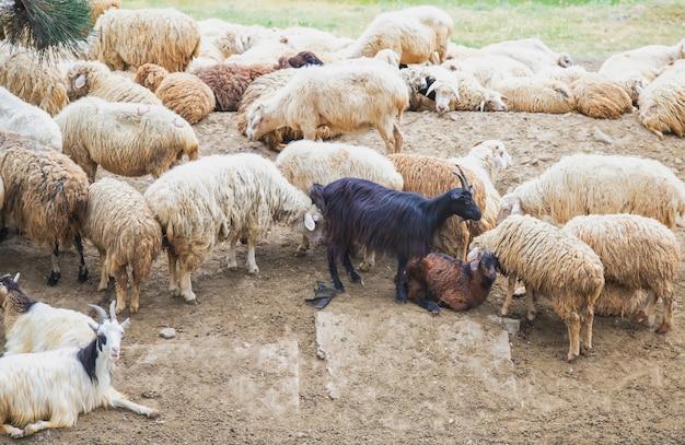 Gregge di pecore in montagna. viaggia in georgia.