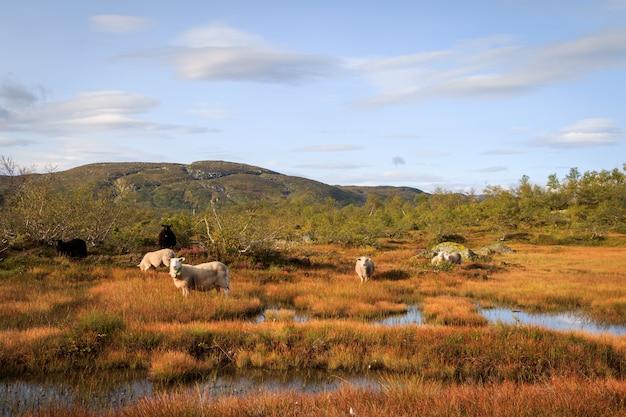 Gregge di pecore in un paesaggio montano in norvegia