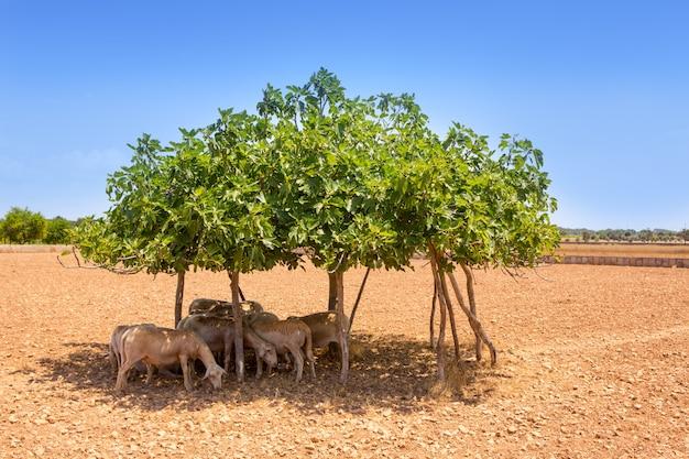 Gregge di pecore sotto l'ombra del fico in estate