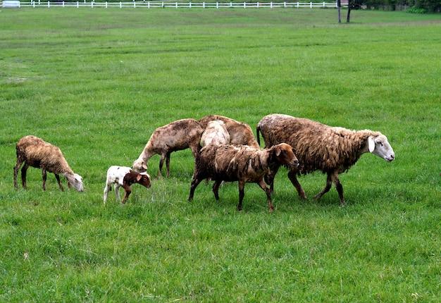 Gregge di pecore sul campo