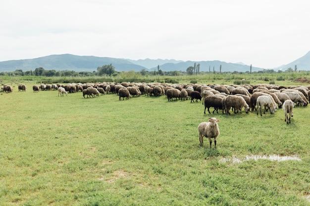 Gregge lungo di pecore che mangiano erba sul pascolo