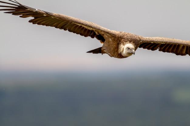 Griffon vulture, (gyps fulvus)
