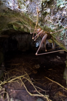 Grillo grotta (dolichopoda linderi) una specie endemica rara nell'est della catalogna, vive in caverne umide che si nutrono di escrementi di pipistrello, resti vegetali, ecc.