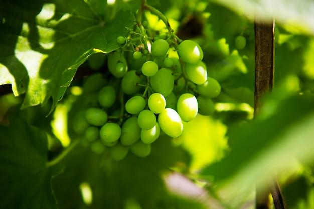 Grono di uva verde nel vigneto.