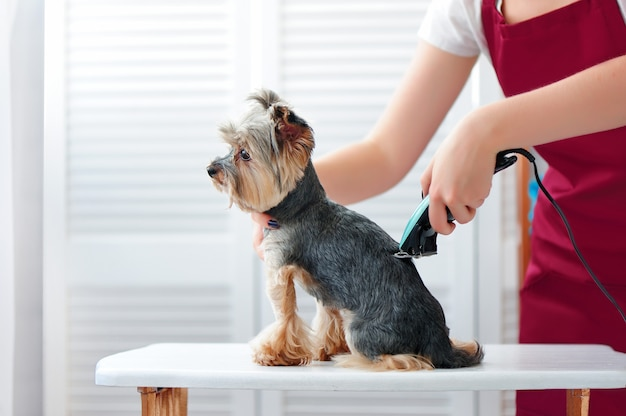 Groomer che rade l'yorkshire terrier indietro