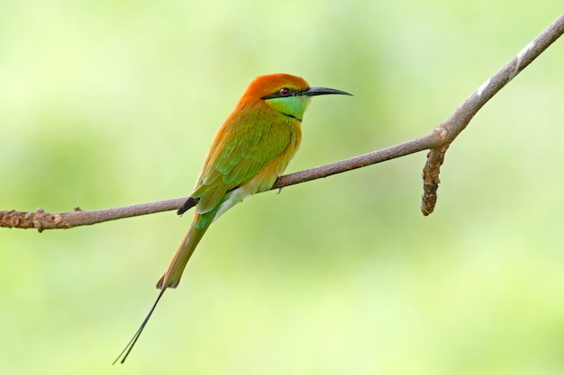 Gruccione verde beautiful birds of thailand