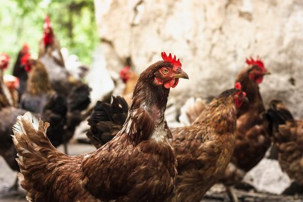 Gruppo del primo piano di polli all'azienda agricola