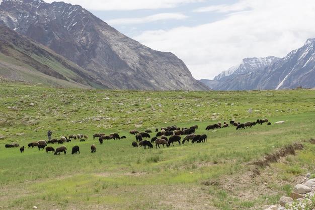 Gruppo di belle pecore in pascolo, jammu-kashmir, india del nord