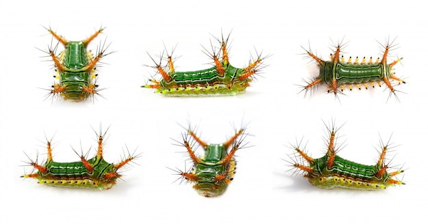 Gruppo di bruco di lumaca di ortica bruciante (cup moth, limacodidae)
