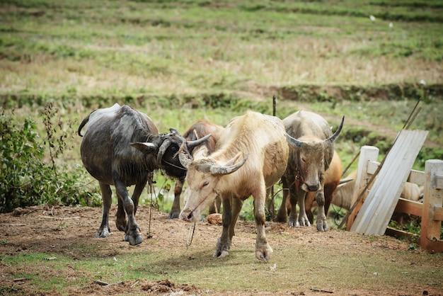 Gruppo di bufali d'acqua con il fango che cammina alla stalla o alla penna del bestiame in azienda agricola del paese