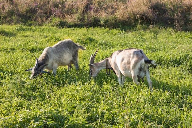 Gruppo di capra domestica che mangia erba