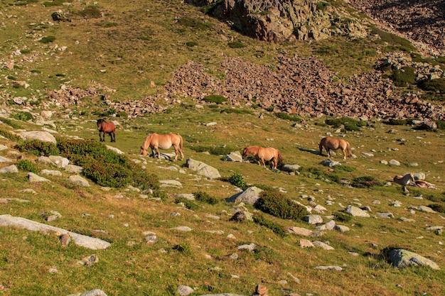 Gruppo di cavalli marroni selvaggi che pascono nelle alte montagne.