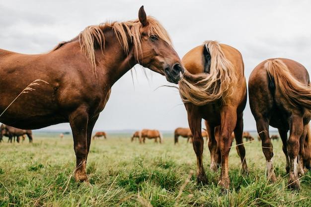 Gruppo di cavalli selvaggii al pascolo che mangiano erba