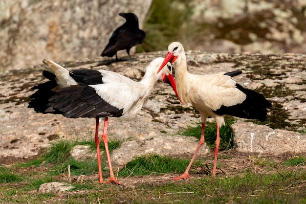 Gruppo di corvi neri e cicogne
