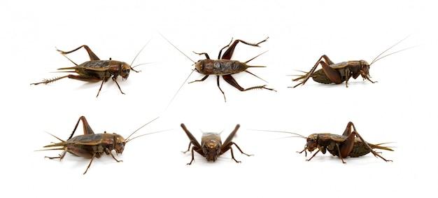 Gruppo di cricket, insetti. animali.