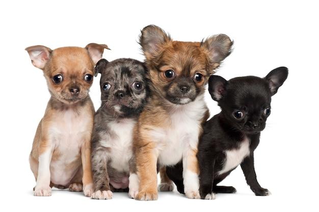 Gruppo di cucciolo della chihuahua che si siede contro il fondo bianco