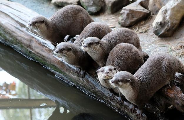 Gruppo di divertente lontra artigliata piccola orientale aonyx cinerea syn
