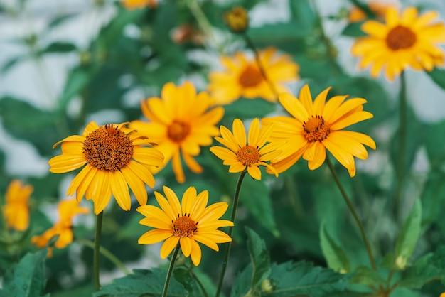Gruppo di fiori gialli succosi colorati con centro arancio e vivaci petali puri piacevoli. topinambur di fioritura nella macro. primo piano di molti helianthus tuberosus. bellissimi fiori di topinambur.