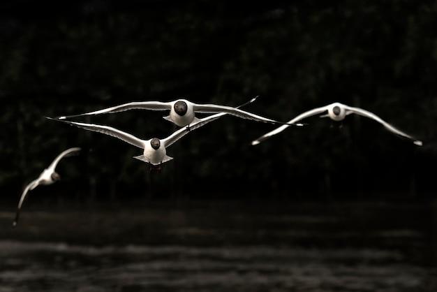 Gruppo di gabbiani che sorvolano il mare di bangpu in samut prakarn, tailandia. gabbiani in azione che volano sul cielo