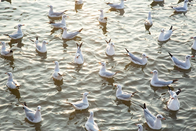 Gruppo di gabbiani sull'acqua al tramonto