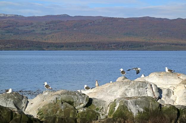 Gruppo di gabbiani sull'isola rocciosa del canale di beagle, ushuaia, patagonia, argentina