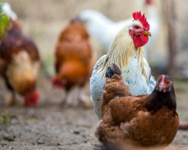 Gruppo di galline sane rosse e nere sviluppate e di alimentazione all'aperto di camminata del grande gallo bianco nell'iarda del pollame il giorno soleggiato luminoso. allevamento di polli, carne sana e concetto di produzione di uova.