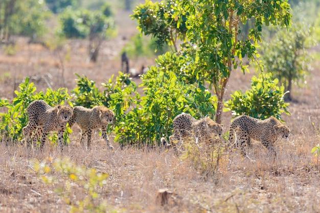 Gruppo di ghepardi in posizione di caccia pronti a correre