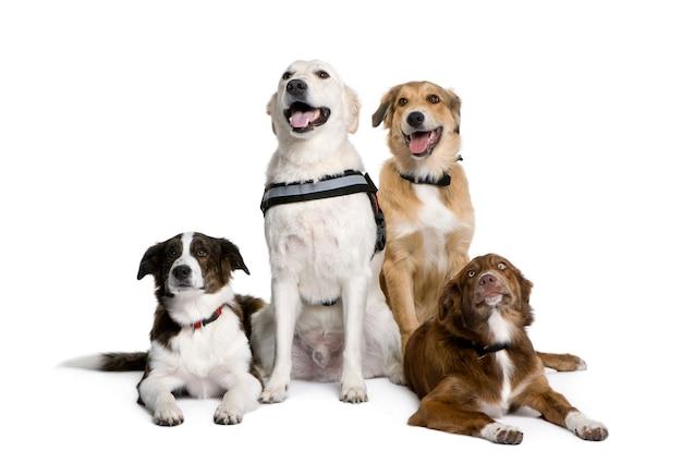 Gruppo di incrocio felice o cani di razza mista. ritratto di cane isolato