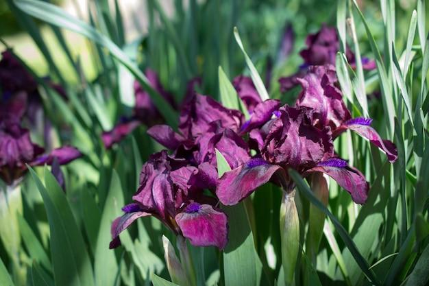 Gruppo di iridi porpora nel giorno soleggiato di primavera nel giardino. sfondo fiore