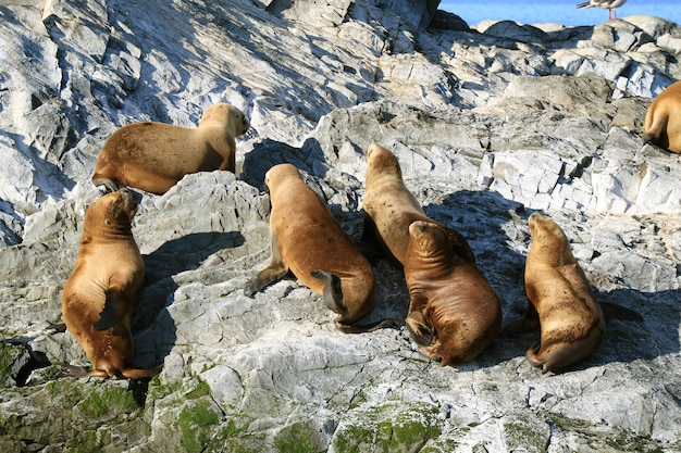 Gruppo di leoni marini che prendono il sole sull'isola rocciosa del canale di beagle, ushuaia, patagonia, argentina