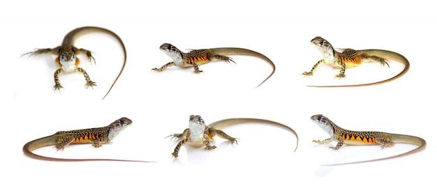 Gruppo di lucertola dell'agama della farfalla (leiolepis cuvier) isolata. rettile. animale.