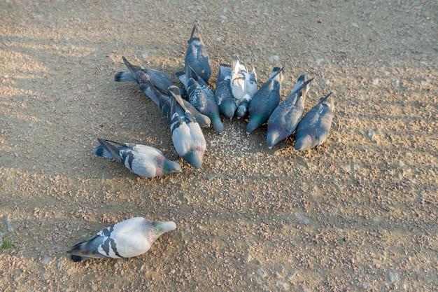 Gruppo di mangiare piccioni, vista dall'alto, uccelli sull'asfalto della città