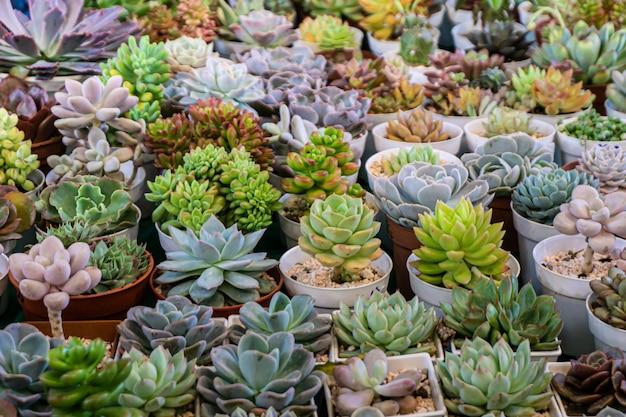 Gruppo di molti cactus in vaso, un cactus è un membro della famiglia delle piante cactaceae