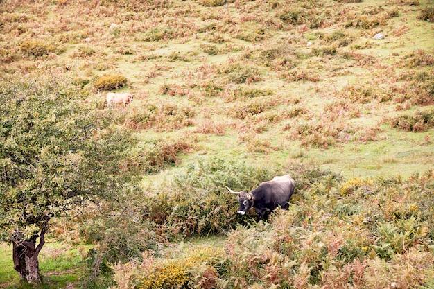 Gruppo di mucche al pascolo su grandi pascoli verdi